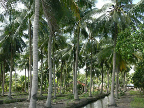Cây dừa bến tre